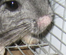 Chinchilla Ringworm