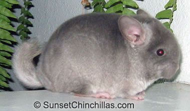 three month old brown velvet looking chinchilla