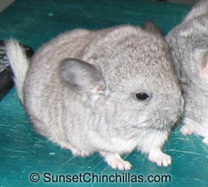 chinchilla condition called cinnamon baby