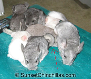 Group of chinchilla babies in comparison to a cinnamon baby
