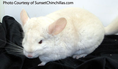 Lowe Recessive white chinchilla mutation