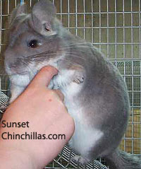 Chinchilla Malocclusion