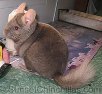 Chinchilla Collar